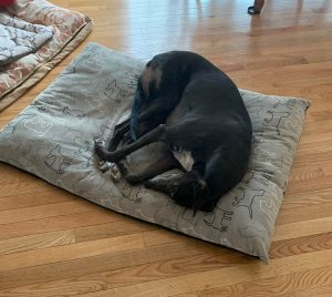 A large dog resting on a dog bed at Ann's Pet Service
