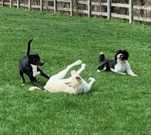 Three dogs at play in the yard at Ann's Pet Service