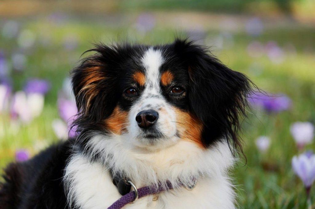 A puppy shepherd out in a field of flowers