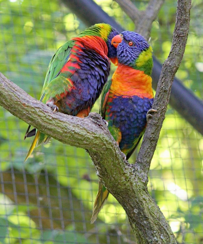 Two multi-colored parrots on a branch