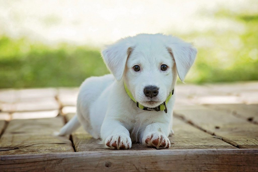 A white puppy laying down on a boardwalk
