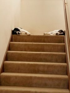 Two dogs laying down on top of the stairs at Ann's Pet Service